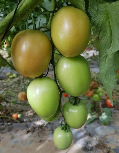עגבניה-פלאם-50969