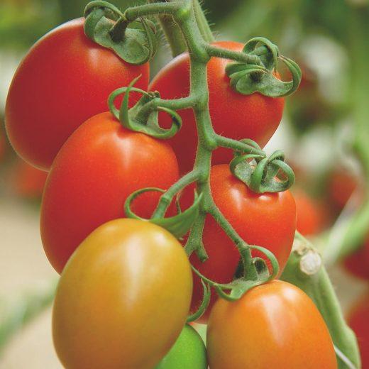 עגבניה טיפוס רומא